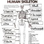 The Skeletal System Worksheet Answers Siteraven
